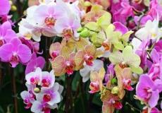 Пересадка орхидей-мотыльков