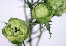 Новинки в линейке садовых роз из Колумбии